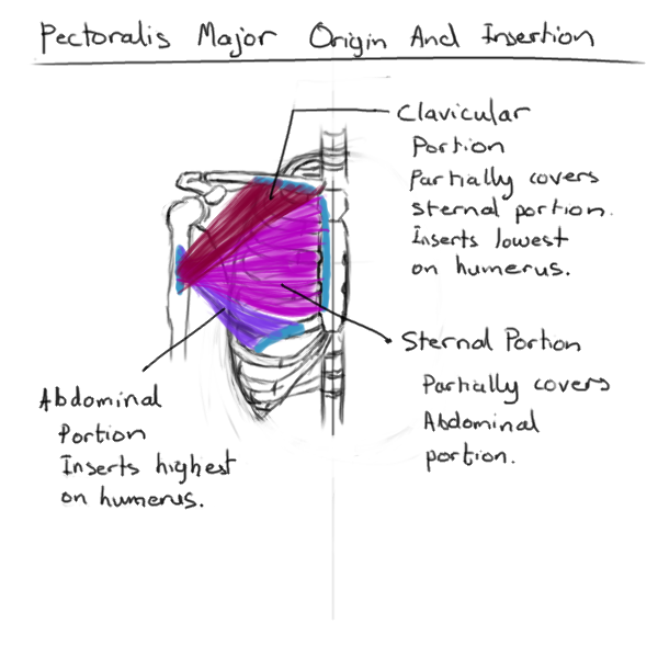 Anatomy Art Study: Pectoralis Major - artloader.net
